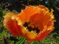 """""""Как солнце яркое тюльпан"""""""