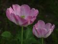 """""""Розовые тюльпаны"""""""